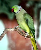 Rose-ringed Parakeet Royalty Free Stock Photos