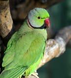 Rose-ringed Parakeet Royalty Free Stock Photos