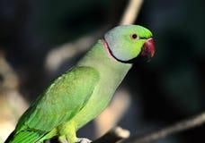 Rose-ringed Parakeet Stock Images