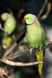 Rose-ringed Parakeet Stock Photo