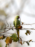 The rose-ringed parakeet in Pench Tiger Reserve Stock Photography