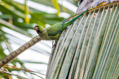 Rose-ringed Parakeet, perched on leaves, nature, copy spa Stock Photography