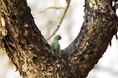 The rose-ringed parakeet perched on a tree Stock Photos