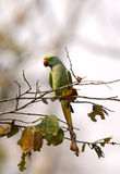 The rose-ringed parakeet perched on a tree Stock Photography