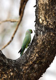 The rose-ringed parakeet perched on a tree Royalty Free Stock Photography