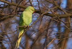 Rose ringed parakeet or Psittacula krameri sitting on branch  i. Rose ringed parakeet or Psittacula krameri adapted to cold winter in Eastern Europe sitting on Stock Images