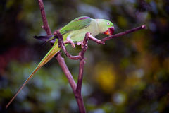 Rose-ringed parakeet Psittacula krameri. The rose-ringed parakeet Psittacula krameri, also known as the ring-necked parakeet, is a gregarious tropical Afro Royalty Free Stock Image