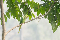 The rose-ringed parakeet Psittacula krameri. Also known as the ring-necked parakeet, sitting on a tree branch. shot at Kolkata, Calcutta, West Bengal, India Stock Photo