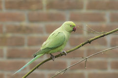Rose-ringed parakeet, Psittacula krameri. Rose-ringed parakeet (Psittacula krameri), also known as the ring-necked parakeet in a urban environment Stock Image