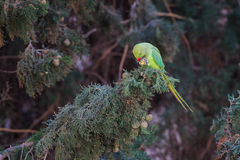 Rose-ringed Parakeet, Psittacula krameri, beautiful green parrot. In the nature. Holding a cypress cone in his paw and eating Stock Photo