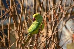 Rose ringed parakeet  (Psittacula krameri) Stock Photos