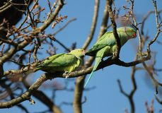 rose-ringed parakeet (Psittacula krameri), known as the ring-necked parakeet, is a gregarious Afro-Asian parakeet Royalty Free Stock Images
