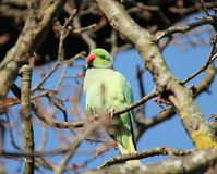 rose-ringed parakeet (Psittacula krameri), known as the ring-necked parakeet, is a gregarious Afro-Asian parakeet Royalty Free Stock Photos