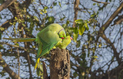 Rose Ringed Parakeet (Psittacula Krameri) Stock Images