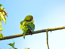 Rose-ringed Parakeet, Psittacula krameri. Preening Stock Photography