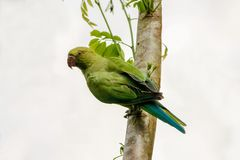 Rose ringed parakeet , Psittacula krameri. From srilanka Stock Photos