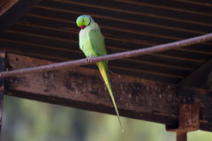 Rose-ringed Parakeet Stock Images
