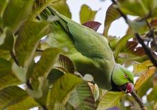 A rose ringed parakeet Stock Image