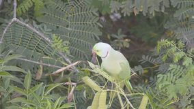 Rose Ringed Parakeet selvaggia - mangiando stock footage
