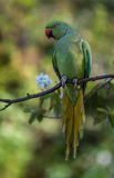 Rose-Ringed Parakeet. Shot at Amsterdam in a park. Nikon D7000 Stock Photography