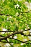 Rose-ringed parakeet Royalty Free Stock Photo