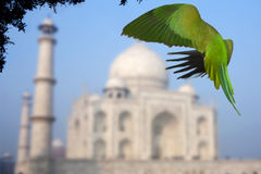 Rose Ringed parakeet at Taj Mahal, India Stock Photo