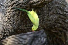 Rose-ringed Parakeet Royalty Free Stock Photography