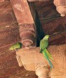 Rose-ringed Parakeets Royalty Free Stock Photos