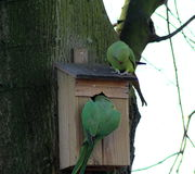 Rose ringed parakeets Stock Images