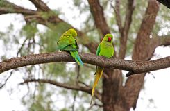 Rose-ringed parakeets Psittacula krameri. On a  tree branch Stock Photo