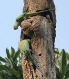 Rose-ringed Parakeets Royalty Free Stock Photo