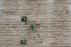 Rose-ringed parakeets on the wall Royalty Free Stock Image