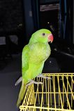 Rose Ringed Parrot royalty free stock photo