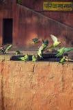 Rose Ringed Parrots imagem de stock