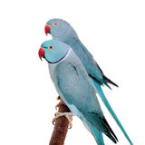 The rose-ringed or ring-necked parakeets on white Stock Image