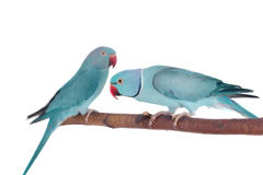 The rose-ringed or ring-necked parakeets on white Stock Photography