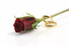 Rose and rings Stock Images