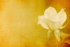 rose roczne ilustracji