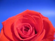 Rose roja Fotos de archivo