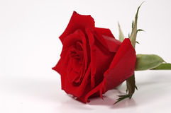 Rose roja imagenes de archivo