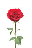 Rose roja Imagen de archivo libre de regalías