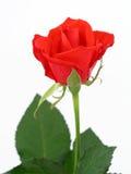 Rose roja Imágenes de archivo libres de regalías