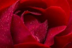 Rose roja Foto de archivo libre de regalías