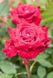 Rose roja. Imagen de archivo
