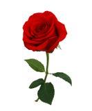 Rose roja aislada Foto de archivo
