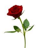 Rose roja aislada Imagen de archivo libre de regalías