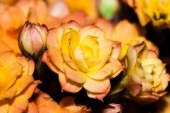 Rose roja anaranjada le gusta el kalencoe Fotos de archivo libres de regalías
