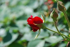 Rose roja casi floración y brotes cerrados imágenes de archivo libres de regalías