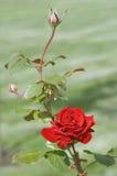 Rose roja con el capullo de rosa Fotografía de archivo