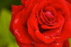 Rose roja con gotas de lluvia Foto de archivo